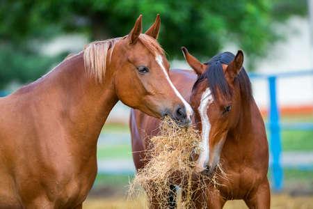 Zwei arabische Pferde Heu Essen