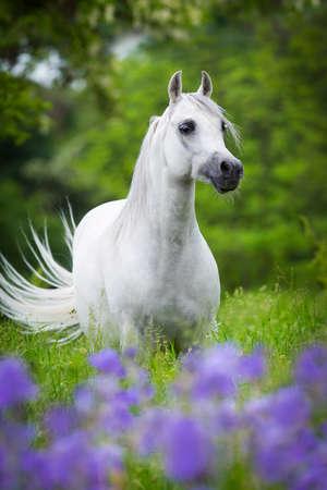 champ de fleurs: Arabe cheval gris debout dans la forêt