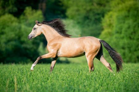 buckskin horse: Beautiful buckskin horse running in forest Stock Photo
