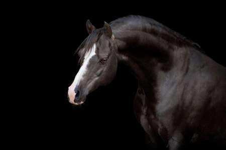 black horse: Caballo negro aislado en el fondo negro Foto de archivo