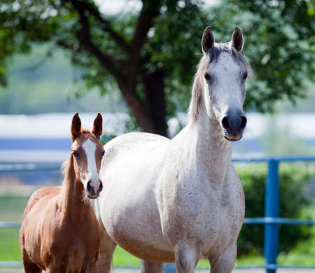mare and foal: Arabian mare and foal portrait, square photo