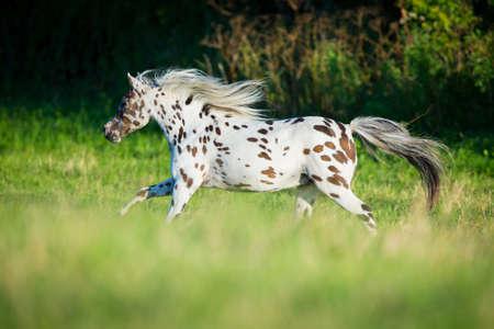 pinto: Appaloosa horse running in field