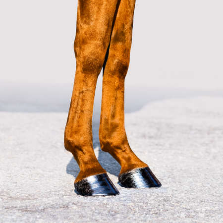 hooves: Horse legs with hooves. Skin of chestnut horse. Square format.