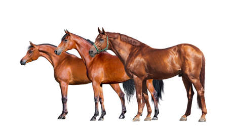 Horses isolated on white. Group of three horses standing on white background
