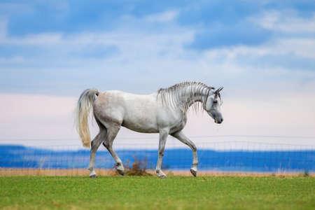 Young Arabian horse runs on meadow