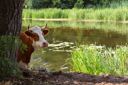 vacas lecheras: vaca en abrevadero