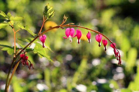 hemorragias: Spring flowers closeup, Dicentra spectabilis, bleeding heart flower Foto de archivo