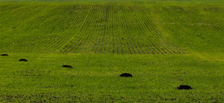 molehill: green spring field damaged by mole, vertical background with copy space Stock Photo