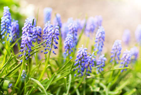 Spring floral background with blossoming blue Muscari flowers. Stock Photo