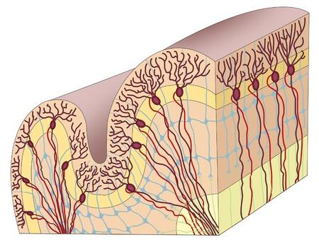 cerebral cortex Stock Photo - 10968172