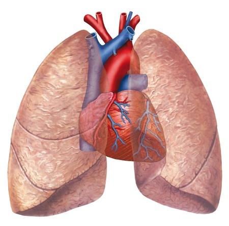 pulmon sano: pulm�n y coraz�n Foto de archivo