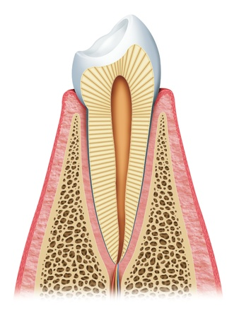dental resin: Anatomy of the tooth