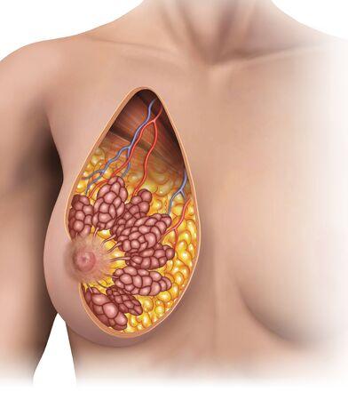 mujer: anatomia de los pechos de mujer