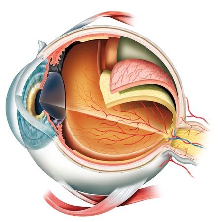 눈알: 눈의 구조 스톡 사진