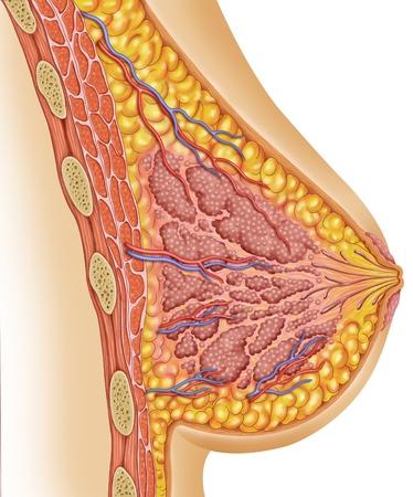 mujer: Anatomía de los pechos