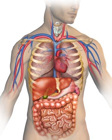 Anatomy of the human body Stock Photo - 13870300