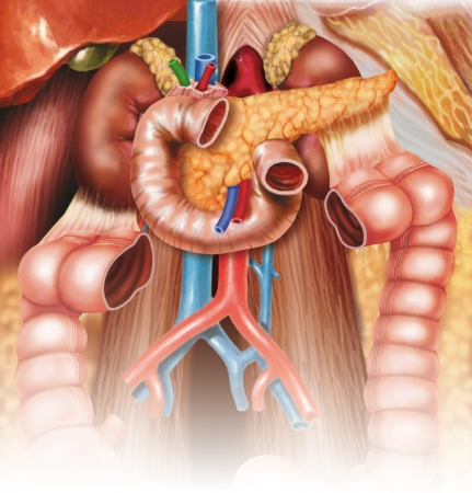 duodenum: Digestive System Stock Photo