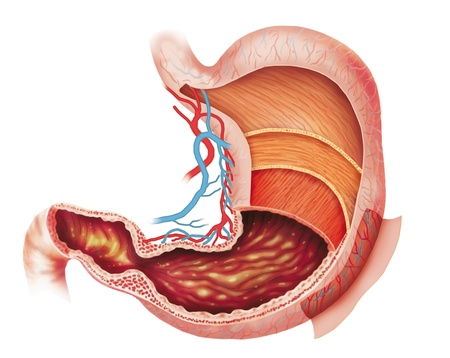 muscle layers of the stomach Stock Photo - 13873590