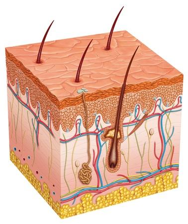 epiderme: L'anatomie peau