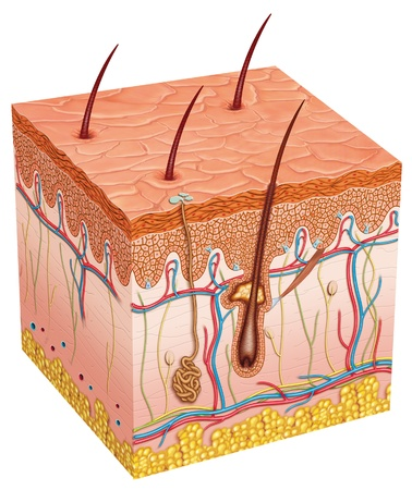 piel: Piel anatom�a Foto de archivo