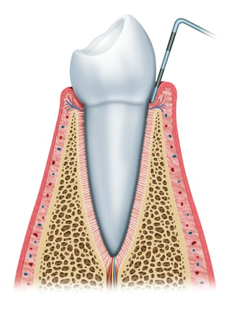 Image of the different layers and elements of the human tooth