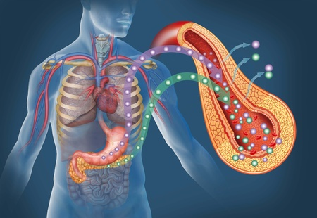blood glucose: image of the human body and organs like the stomach and pancreas