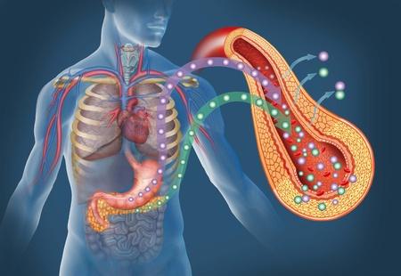 diabetes: la imagen del cuerpo humano y �rganos como el est�mago y p�ncreas