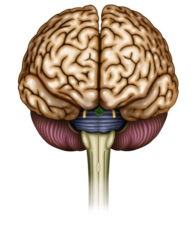 Illustration sista brain and optic nerve head, olfactory and brainstem Stock Photo