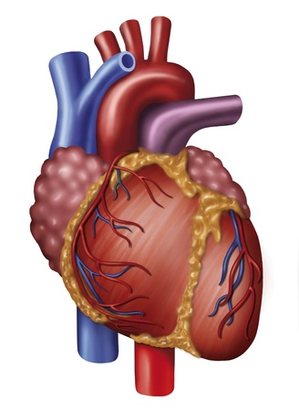 Illustration of heart with aorta, vena cava and pulmonary Stock Photo