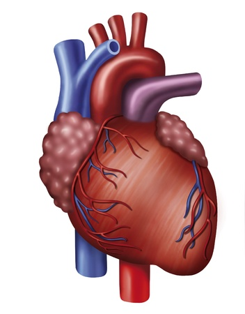 Illustration of heart with aorta, vena cava and pulmonary Stock Photo