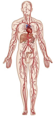 circulation: Figure schematic illustration which shows the major arteries of the human body Stock Photo