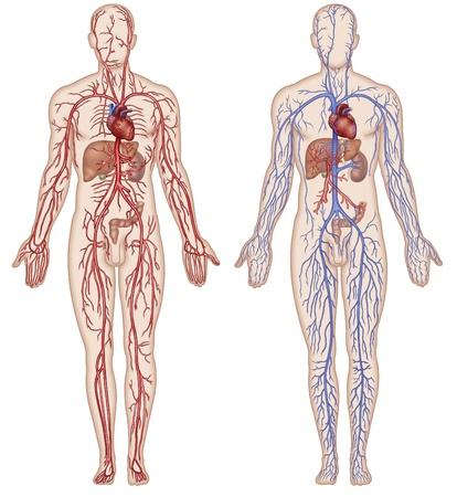 circolazione: Illustrazione schematica della figura che mostra le principali arterie e le vene del corpo umano Archivio Fotografico