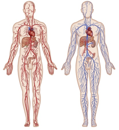 Schematic illustration of the figure which shows the major arteries and veins of the human body illustration