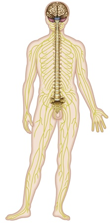 Human figure which shows major nerves of the human body