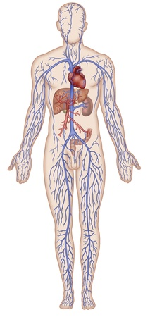 right ventricle: Figure schematic illustration which shows the major veins of the human body