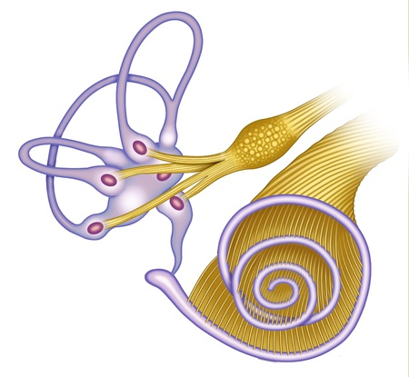 Schematic illustration of the ear canal of the cochlea with vestibular and auditory nerves connected to the duct, ampulla and vestibule