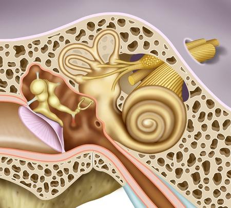 内耳と中耳、詳細、鼓膜、小骨蝸牛, 前庭神経や聴覚神経の神経の楕円形の窓の場合の模式図