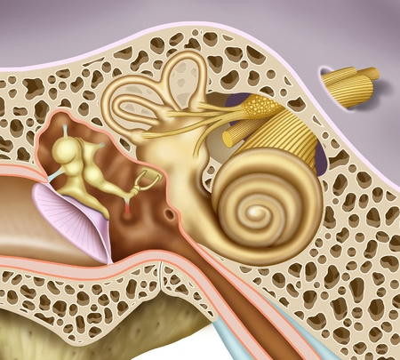 schematic illustration of the inner and middle ear, in the case of detailed, eardrum, ossicles, oval window of the cochlea, vestibular and auditory nerves nerves Stok Fotoğraf - 20888260