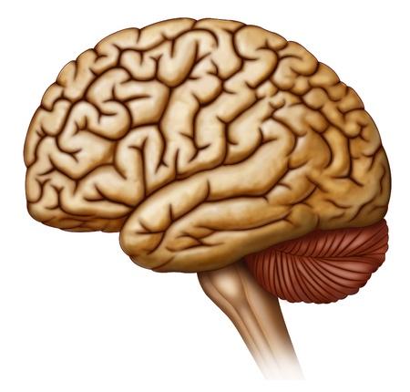 Hoofd, hersenen, hersenstam, zenuwen, reukbol, reukkanaal, hypofyse, optische-darmkanaal, mammillary lichamen, cerebellaire steeltjes, olijf, piramides, spinale zenuwen, het ruggenmerg, de kleine hersenen, hersenstam, ruggenmerg, hypothalamus, knol, cerebellum, pijnappelklier glan Stockfoto