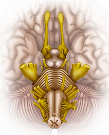 brain stem: bottom view illustration with brain stem with the various elements that compose