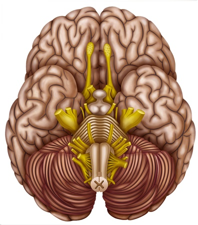 hipofisis: Ilustración inferior del cerebro donde se enseña el cerebelo y el tronco cerebral y los nervios de la médula espinal y los componentes