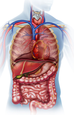 1033/5000 Anatomical illustration of the human body with the different organs that compose it.