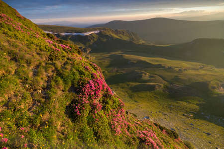 Summer sunrise landscape in the Carpathians Mountains, on Transalpina mountain road, Romania. Pink rhododendron flowers on summer mountain