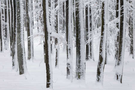 Winter landscape of the frosty forest, in Transylvania Stockfoto - 97485611