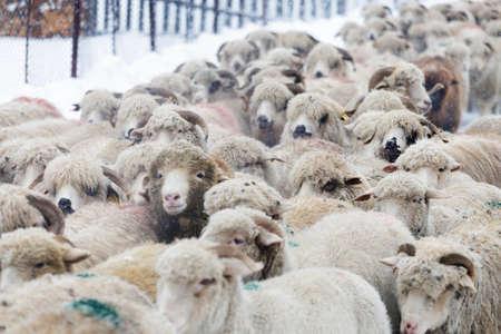 Rural landscape of the romanian sheepfold, at Sibiu county Фото со стока - 98730615