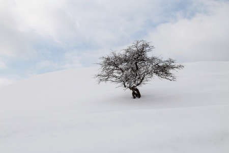 Isolated tree in the white winter hill