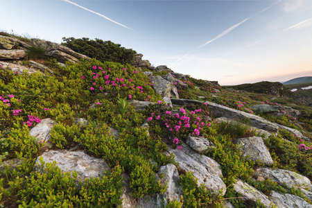 Sunrise landscape in the Carpathians. Carpathians mountain hills, covered with fresh blossom rhododendrons 写真素材