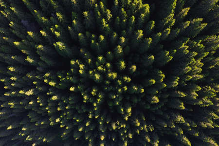 Aerial view above the green pine forest, at sunrise Imagens