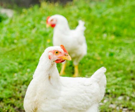 A chicken looking at the camera with another hen on the background Stock Photo