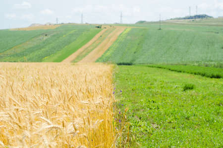 farming area: A wheat field and a uncultivated field in a farming area at the countryside